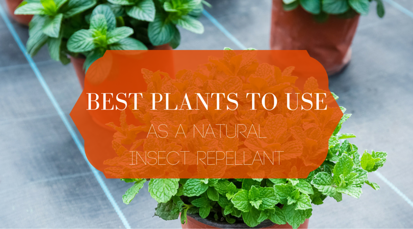 Best plants to use as natural insect repellant